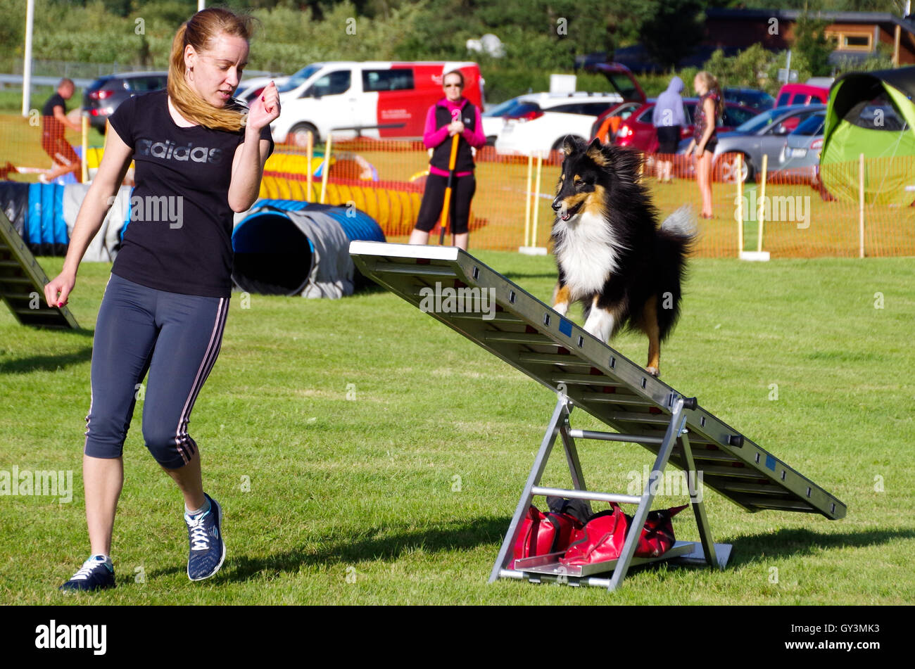 A young woman competing in dog agility competitions with her sheltie on the swing - Stock Image
