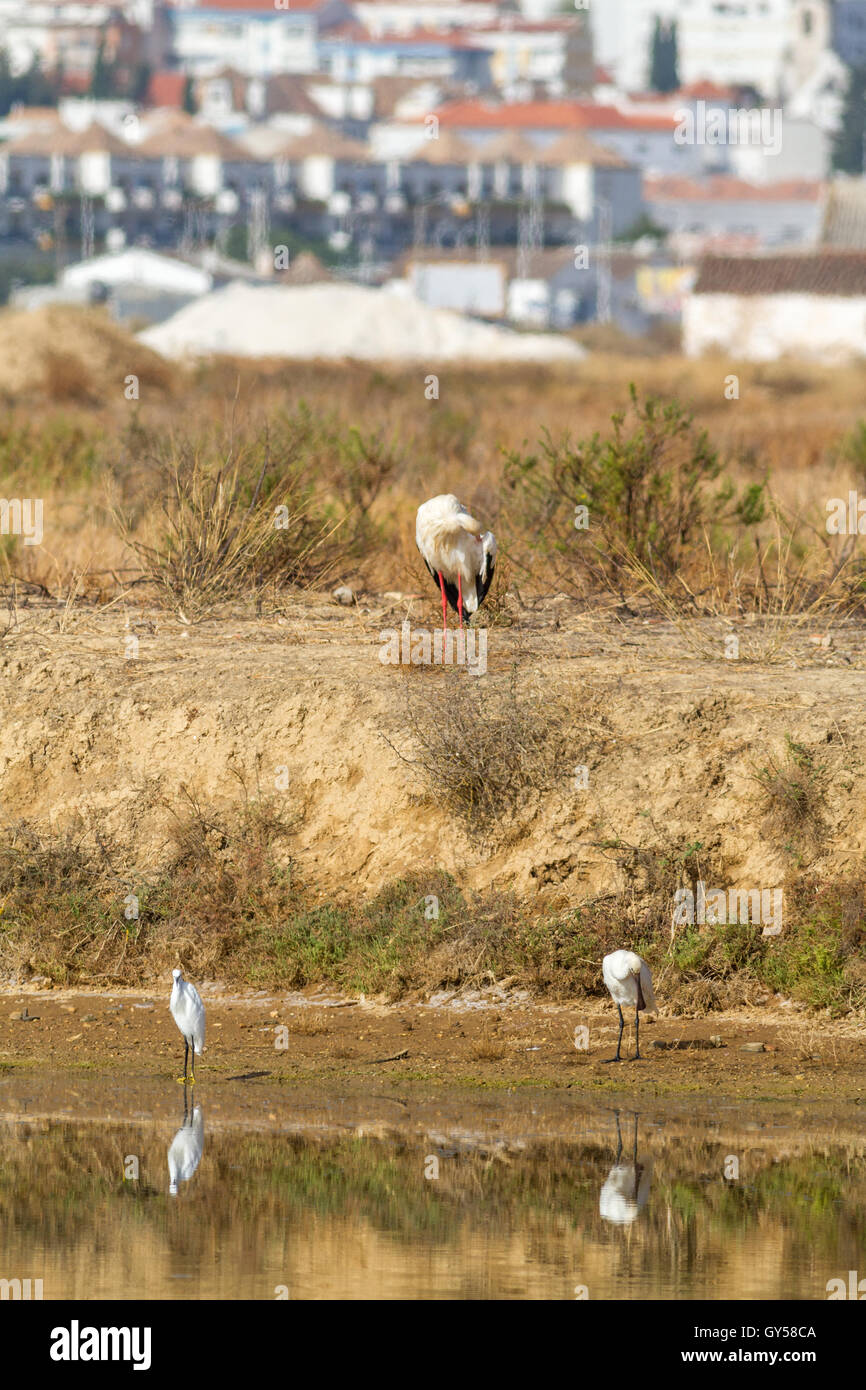 White stork, egret and spoonbill on the edge of a saltpan with Tavira in the background, Ria Formosa, Algarve, Portugal - Stock Image