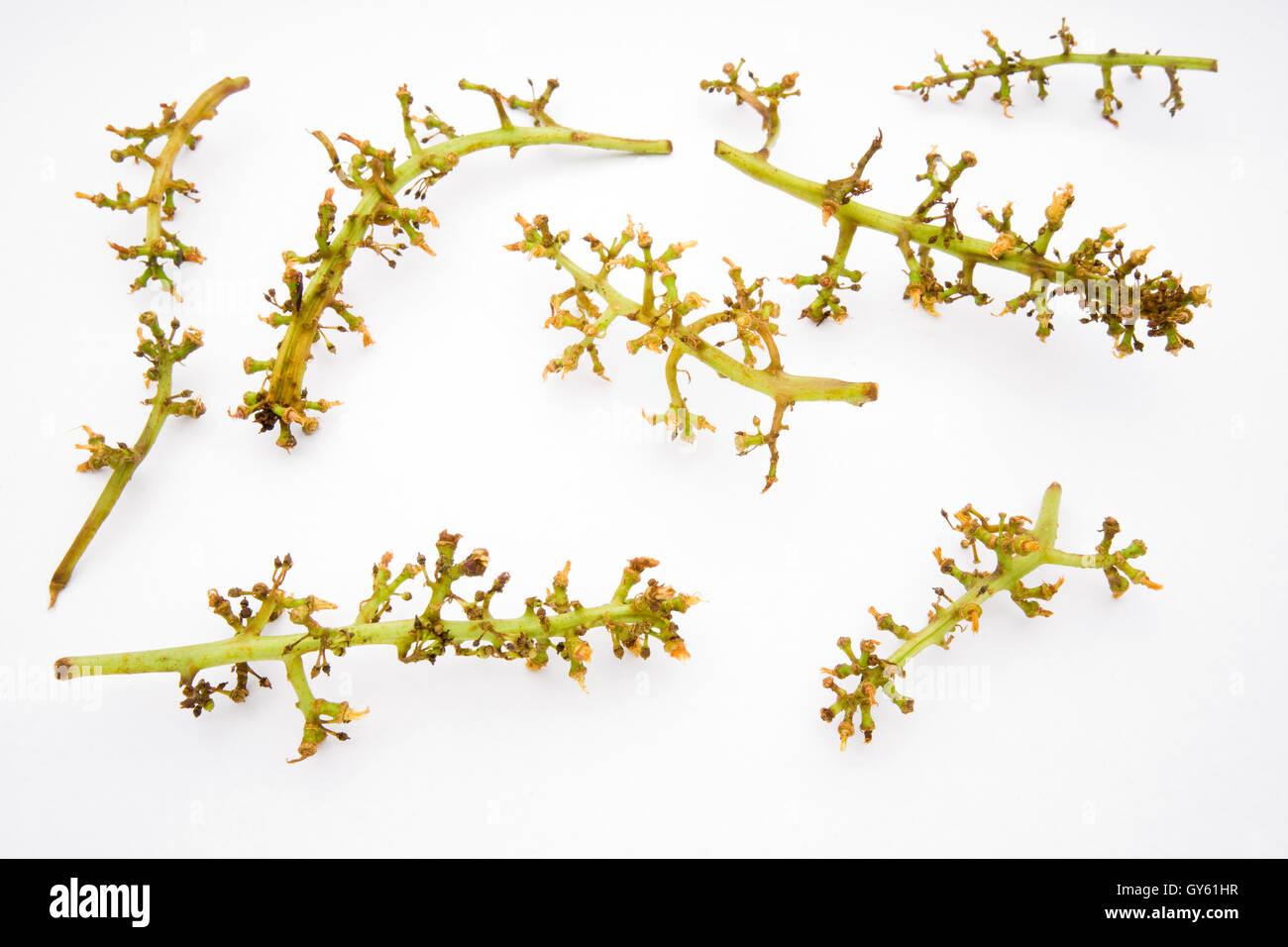 grape racemes stems - Stock Image
