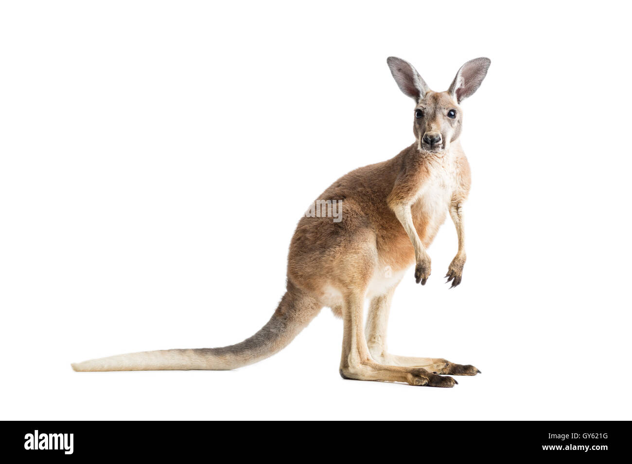 Kangaroo cut out stock images pictures alamy - Image kangourou ...