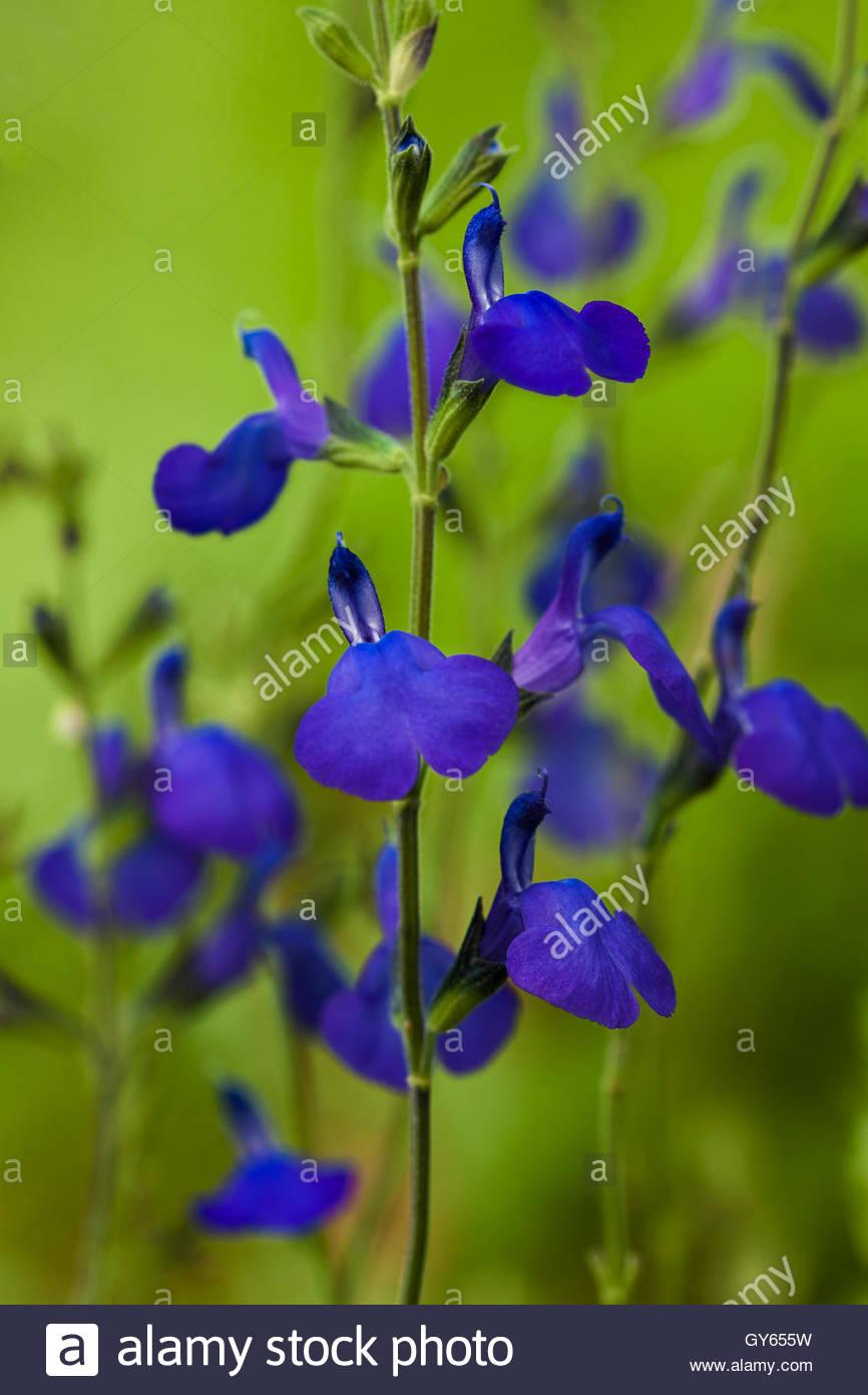 Salvia greggii 'Blue Note' - Stock Image