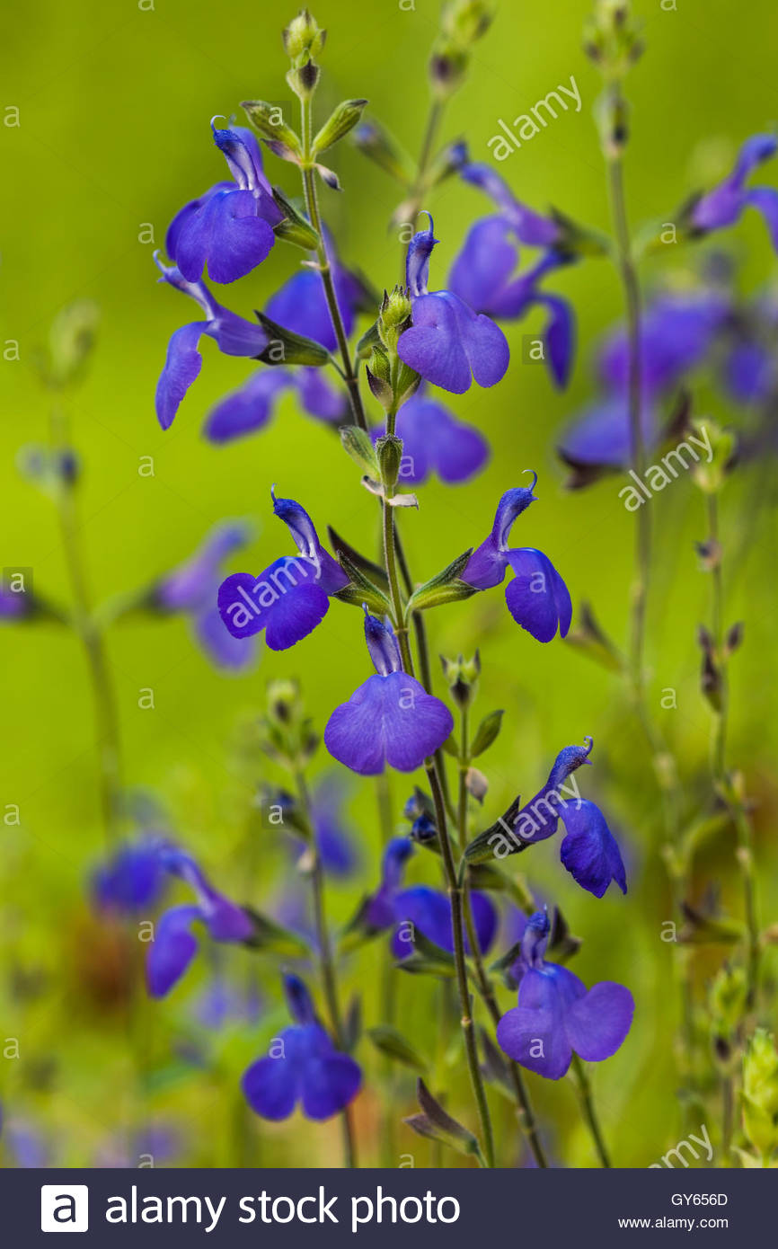 Salvia greggii 'Blue Note' - Stock Image