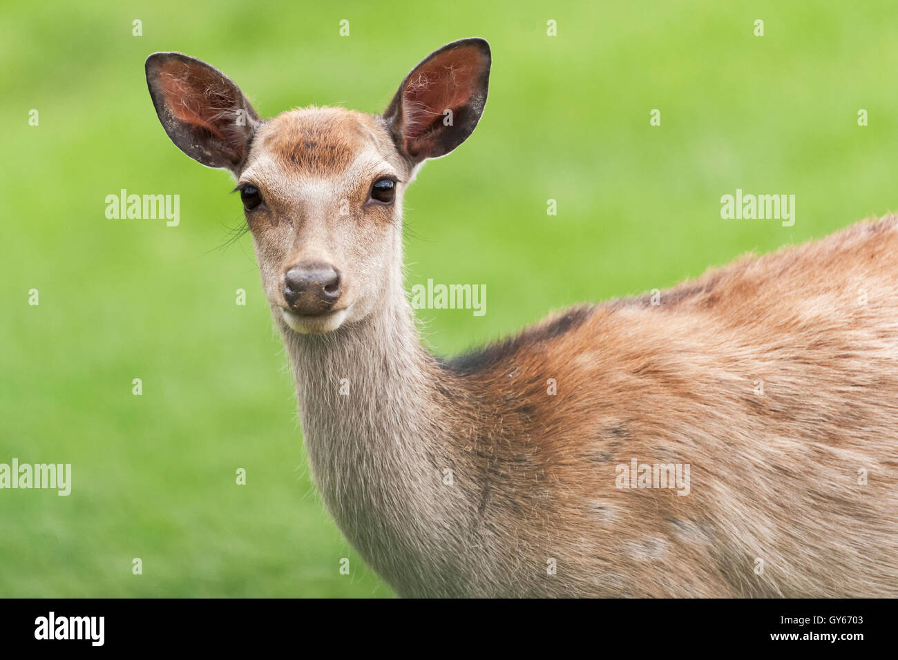 Red dear are a UK native species - Stock Image