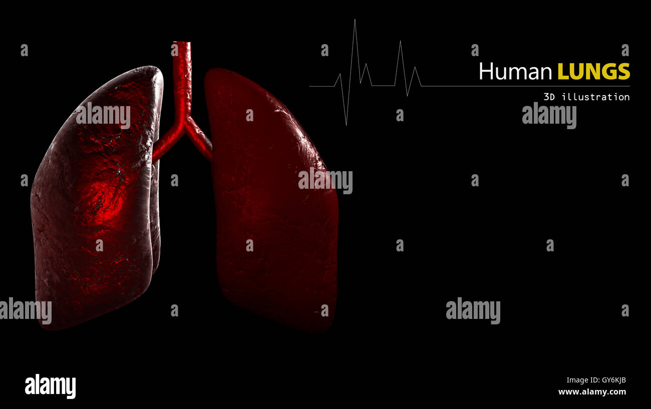 Anatomy of Human Lungs - Stock Image
