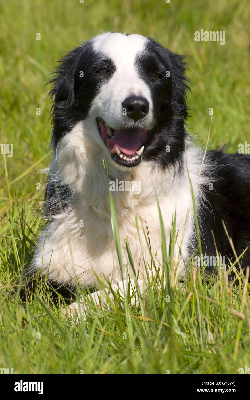 Border collie, Northwest Champion Sheep Dog Trials, Linn
