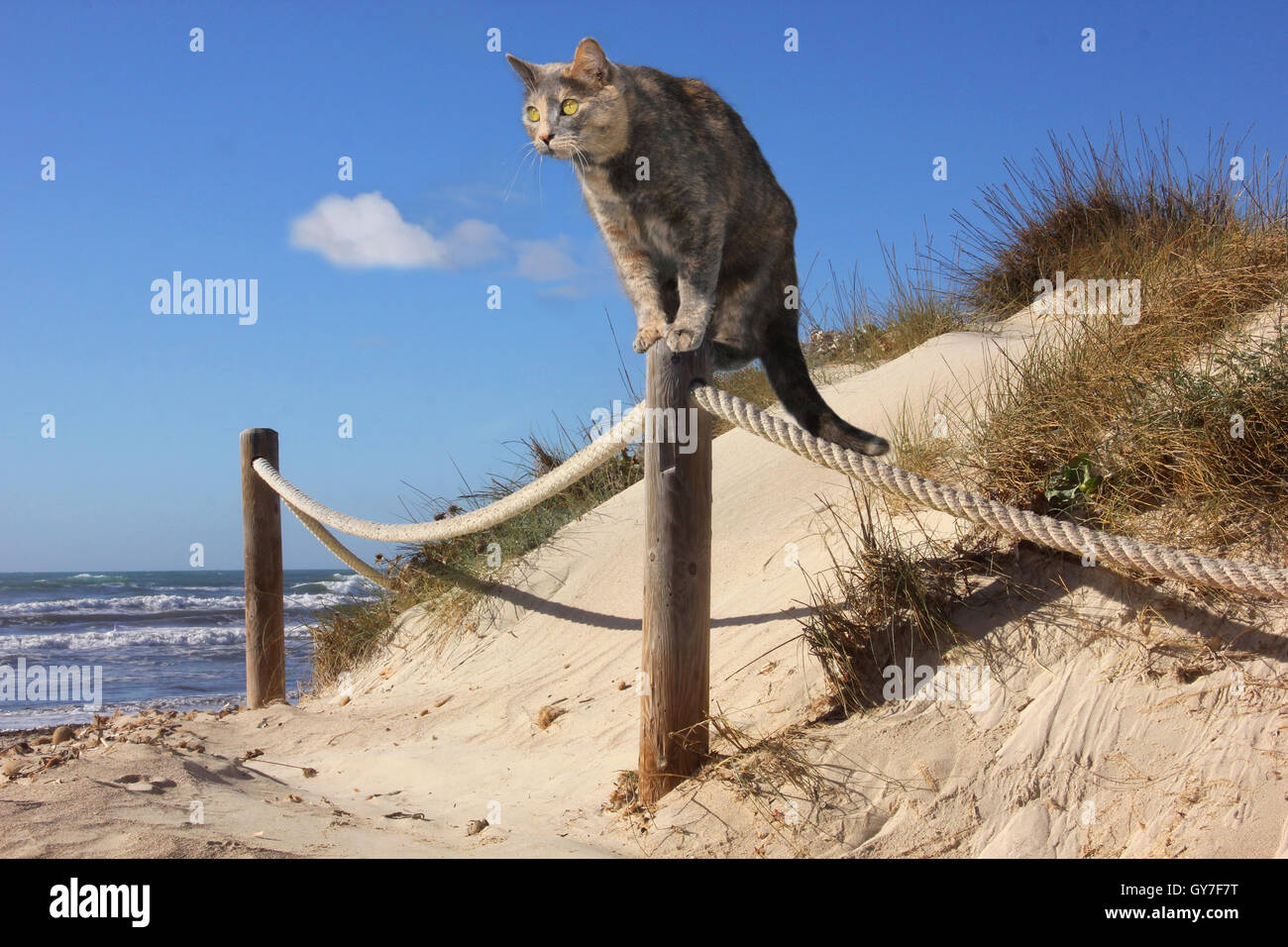 domestic cat, blue tortie, standing on a fence post on the beach in dunes at the sea, ocean - Stock Image
