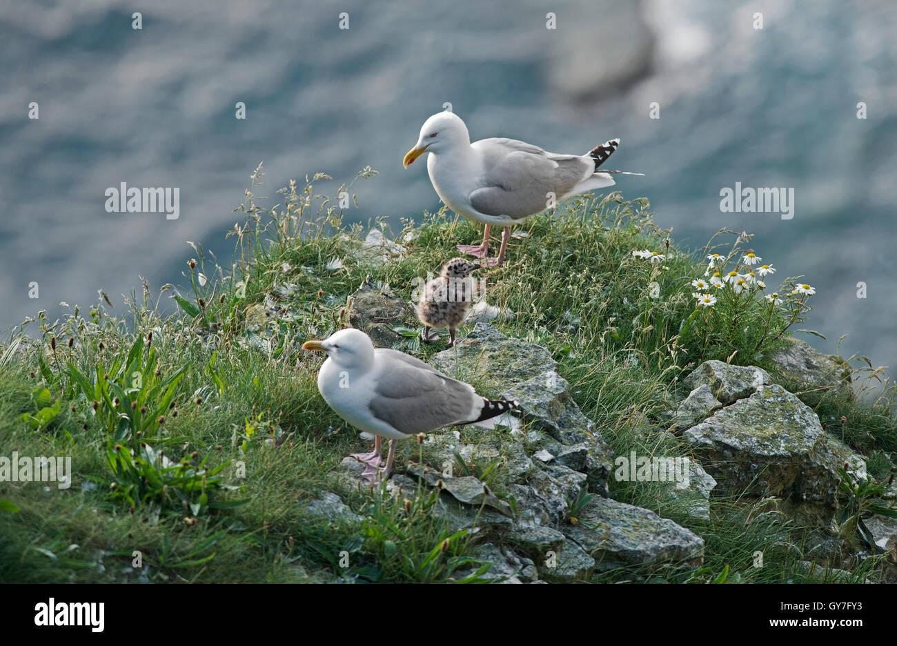 Herring Gulls-Larus argentatus with chick on nest. Uk - Stock Image