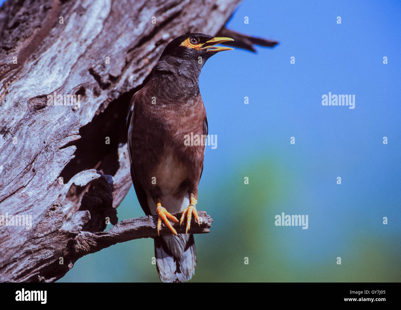 Common Myna,Acridotheres tristis,adult bird,Rajasthan,India,standing on branch near nest hole with beak open to - Stock Image