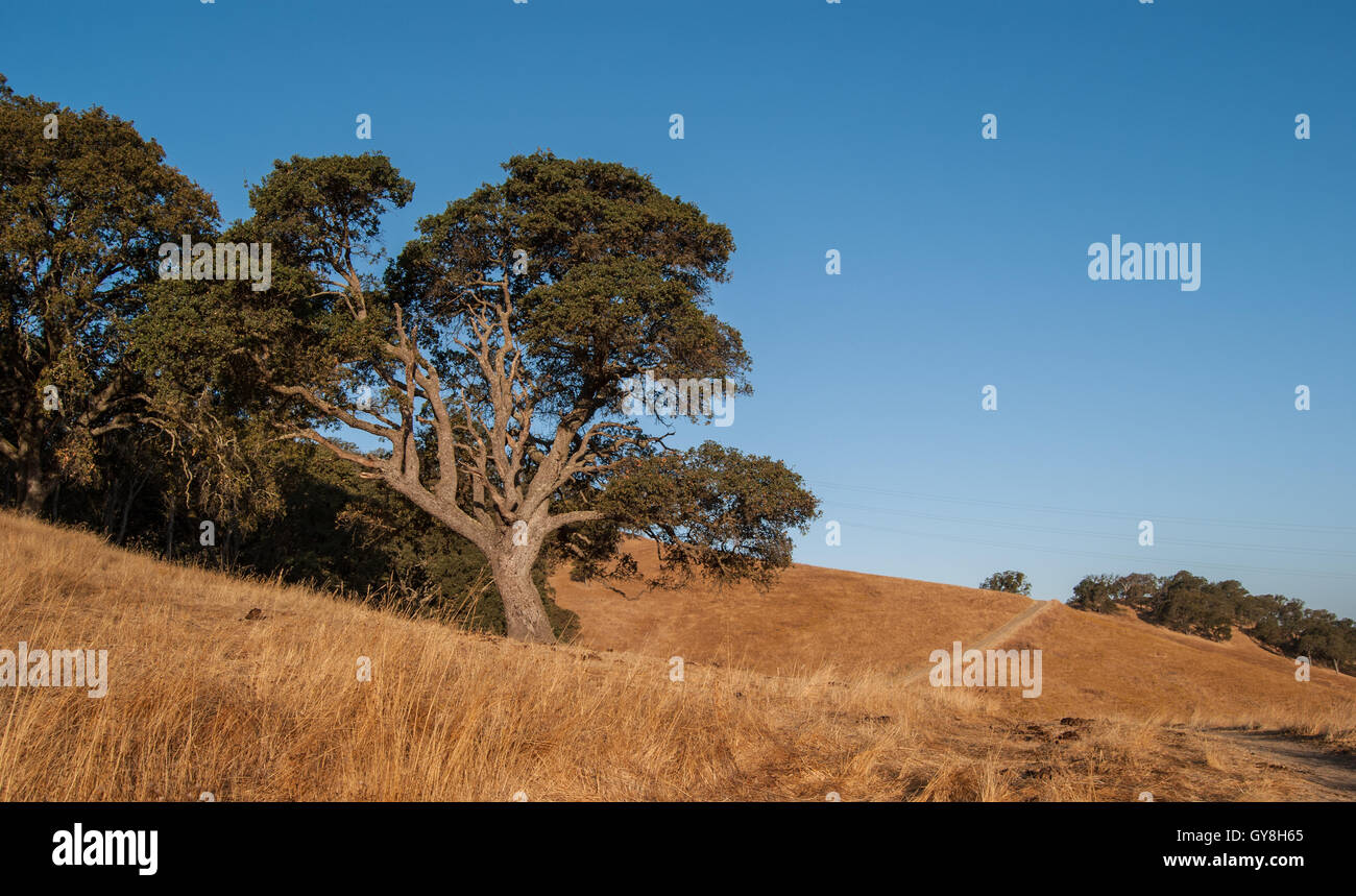 tree and trail in rolling golden hills - Stock Image