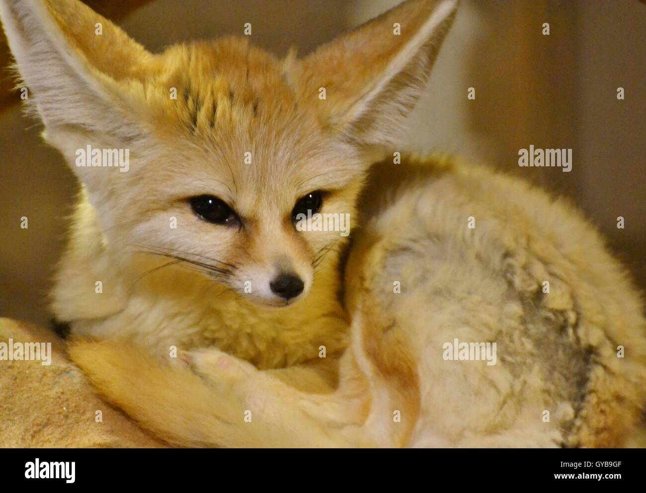 The Fennec Fox (Vulpes zerda) is a small fox found in the Sahara Desert of North Africa famous for its large ears. - Stock Image