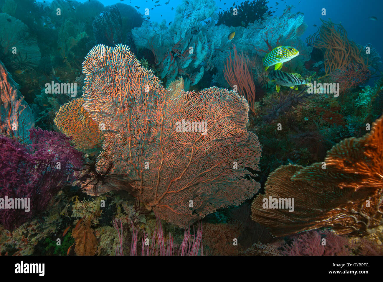 Sweetlips fish feeding in colorful coral reef. - Stock Image