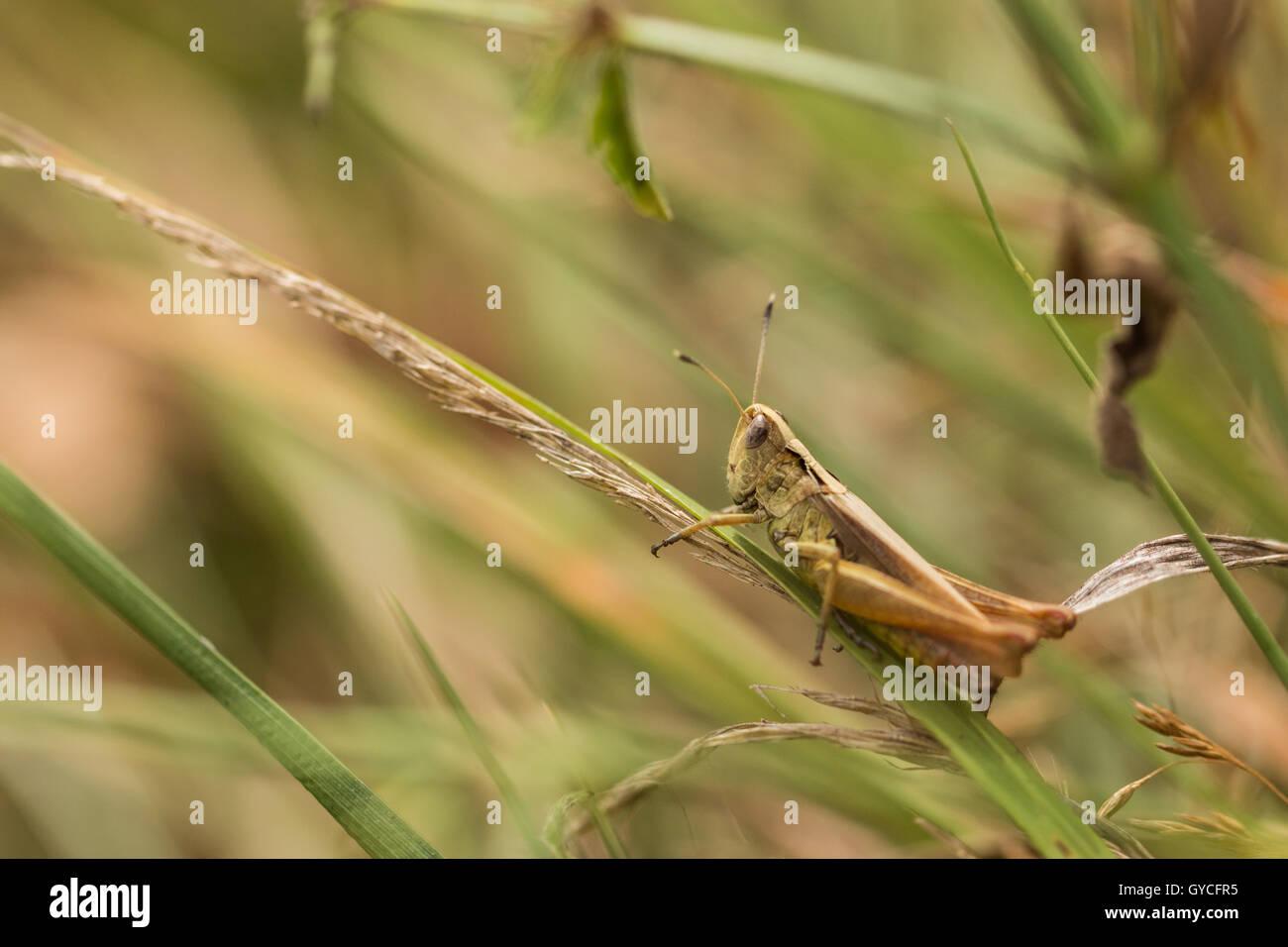 grasshopper on a grass blade - Stock Image