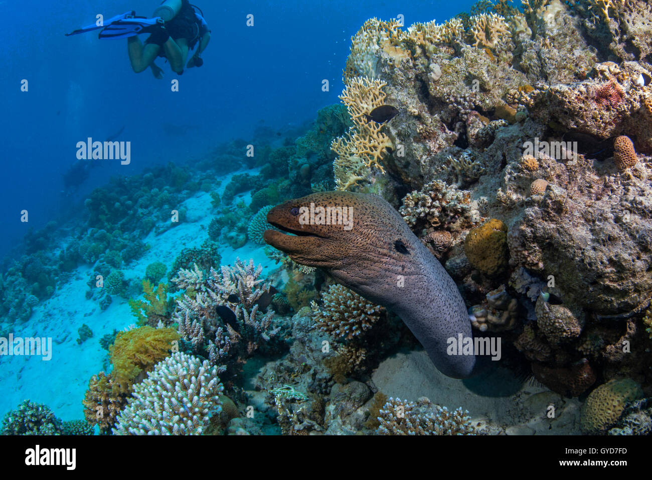 Large moray eel lunges from its lair to investigate commotion created by scuba divers in the Red Sea off the coast - Stock Image