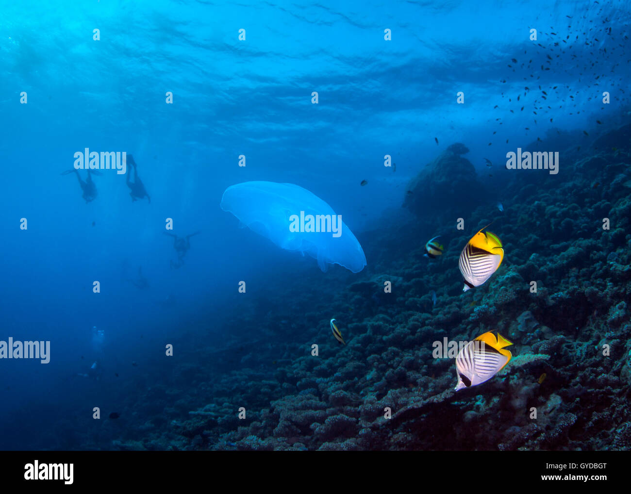 Seascape of jellyfish and raccoon Butterllyfish on coral reef with divers in silhouette in blue water background. Red Sea. Stock Photo