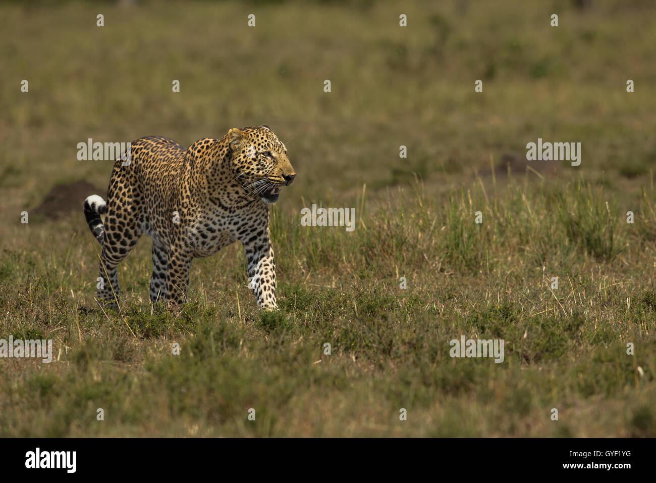 Walking leopard - Stock Image