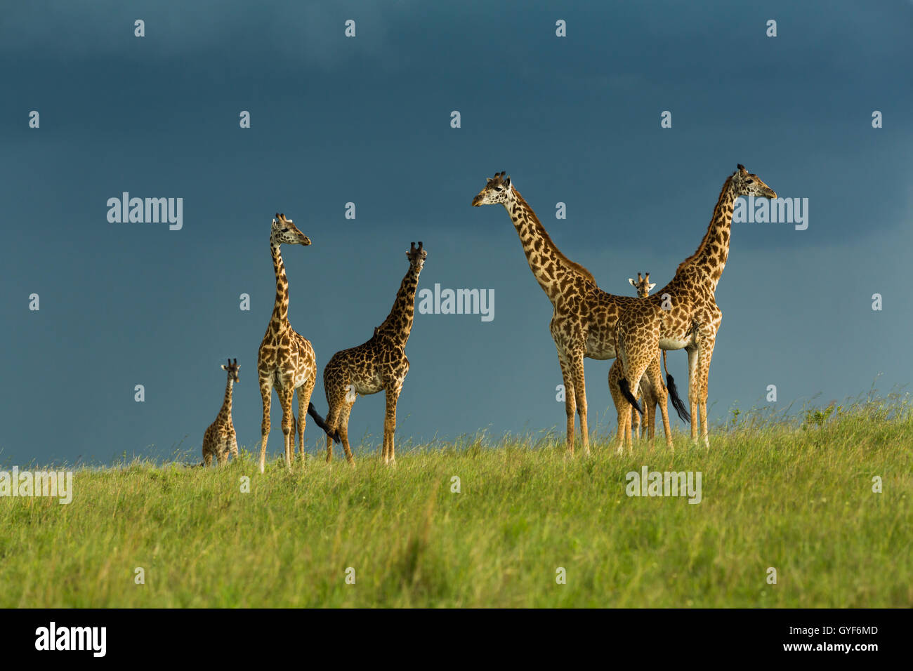 Masai Giraffe standing in the sun over storm clouds - Stock Image