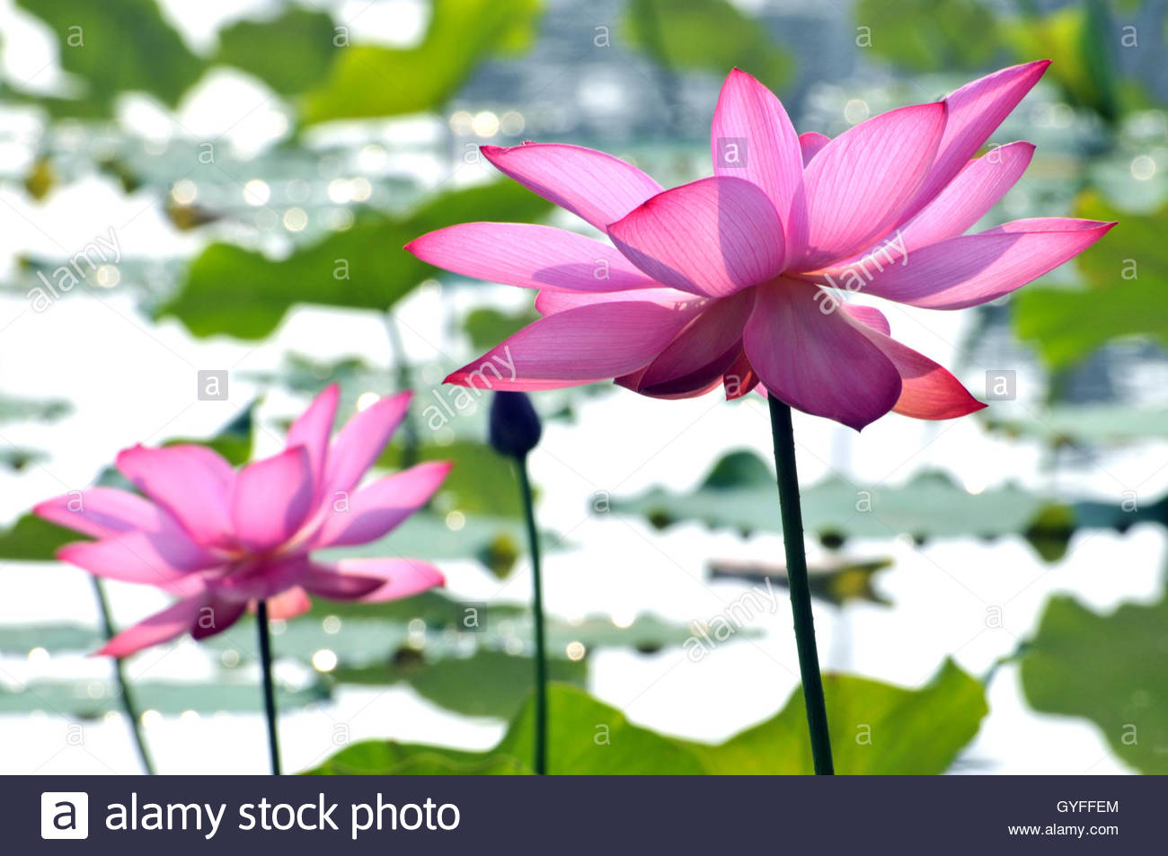 Blossom pink lotus flowers in pond stock photo 120199372 alamy blossom pink lotus flowers in pond izmirmasajfo