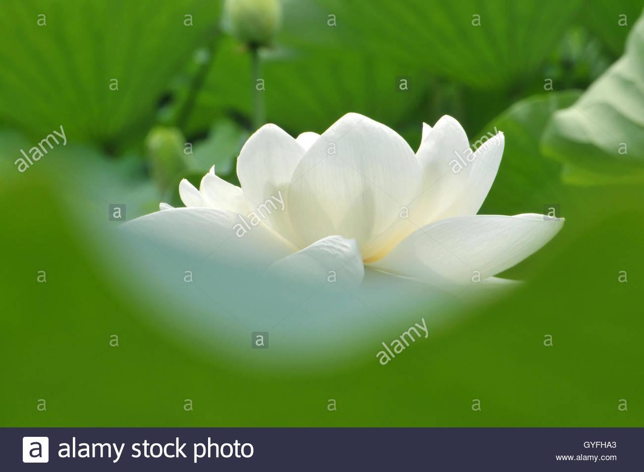 Blossom White Lotus Flower In Pond Stock Photo 120200811 Alamy