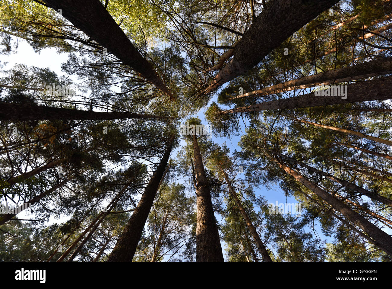 The trunks of the pine trees reach for the sky - - wide-angle lens - Stock Image