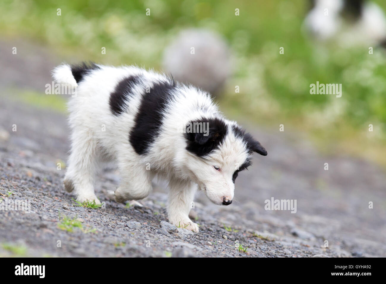 Small Border Collie puppy on a farm, brown eyed - Stock Image