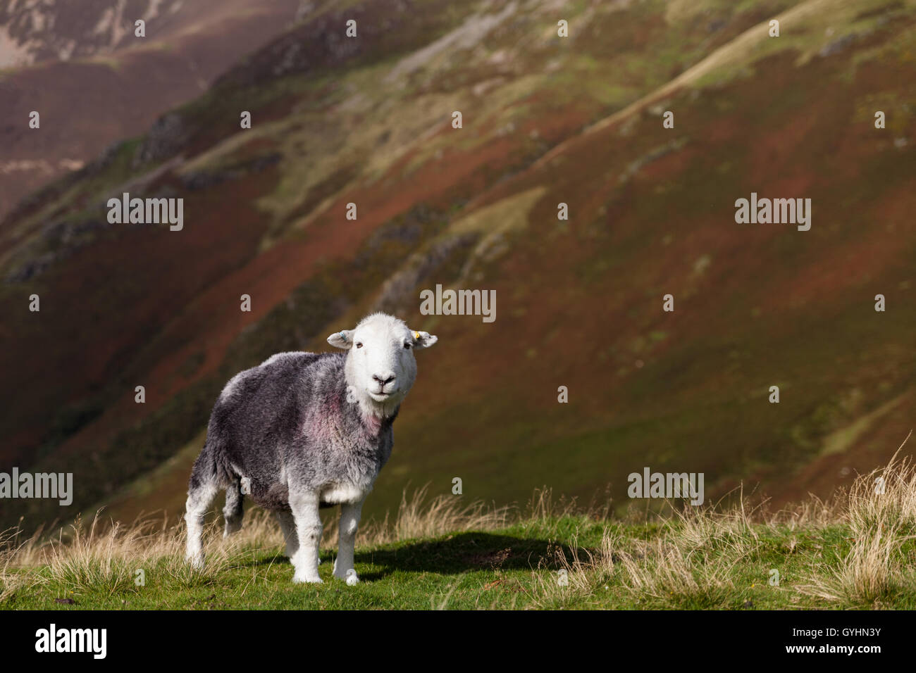 Herdwick sheep on the fells in the English Lake District in early Autumn with autumnal colours on the mountains - Stock Image