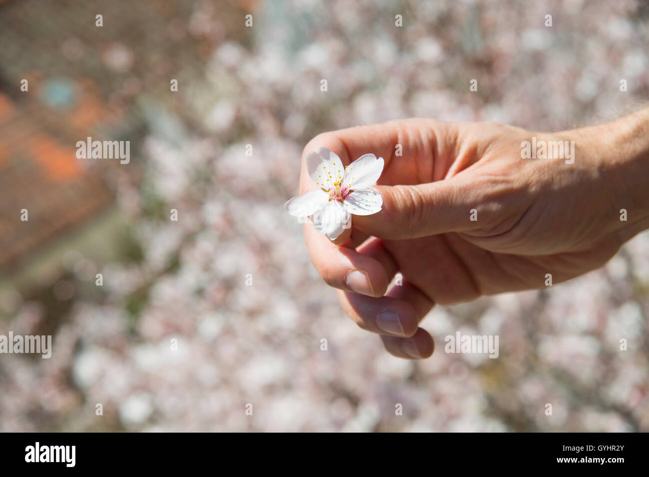Man's hand holding a flower of almond tree. - Stock Image