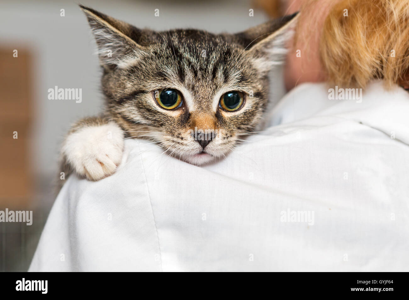 Small, frightened kitten into the hands of the physician of the shelter for homeless animals - Stock Image
