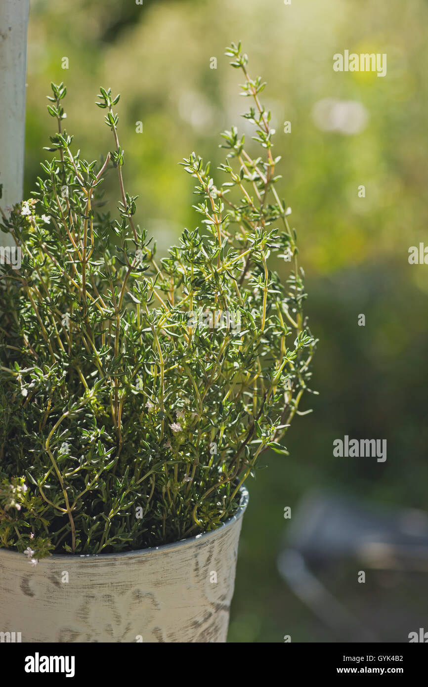 Thyme herb plant in pot Stock Photo