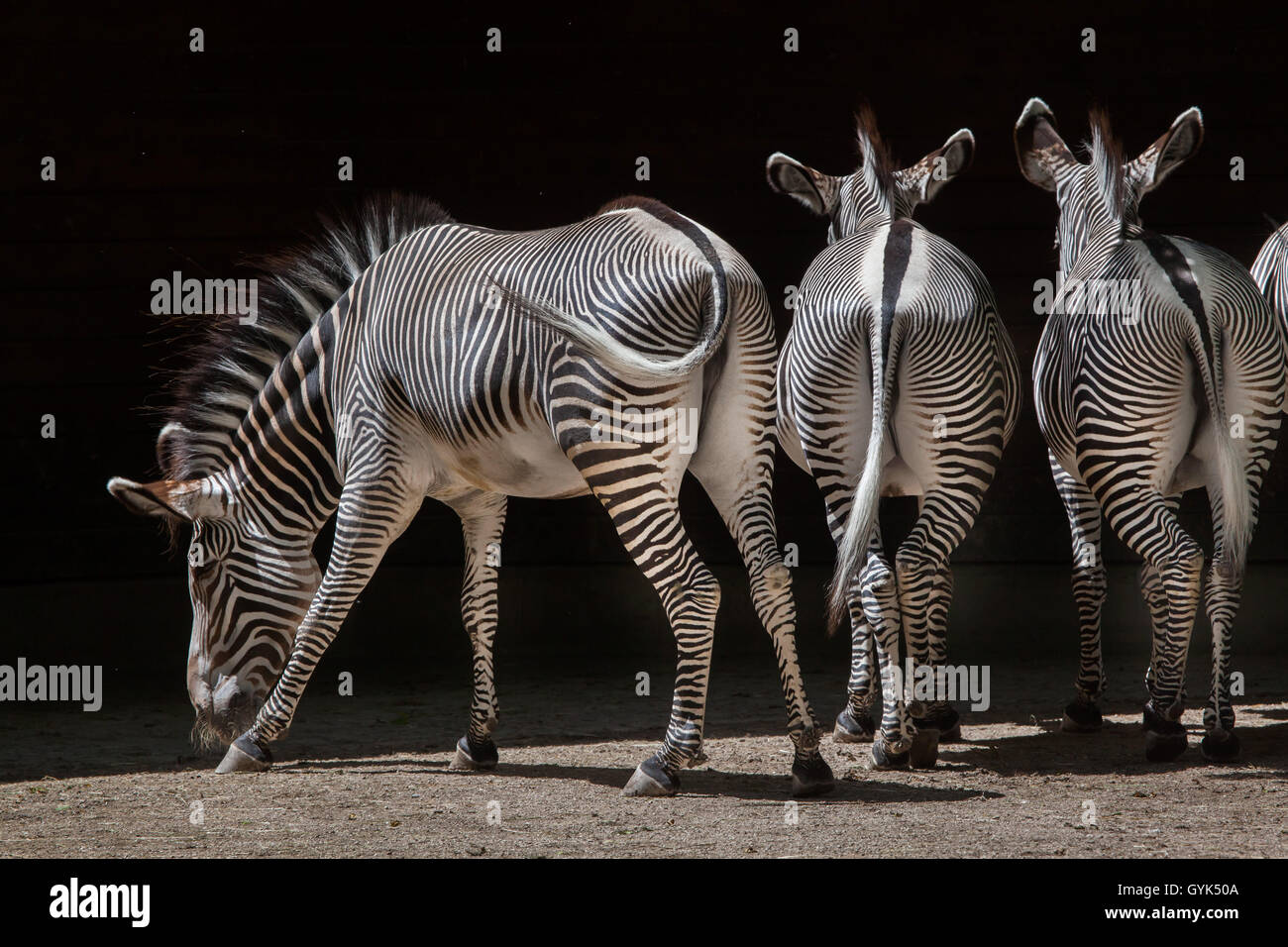 Grevy's zebra (Equus grevyi), also known as the imperial zebra at Augsburg Zoo in Bavaria, Germany. Stock Photo