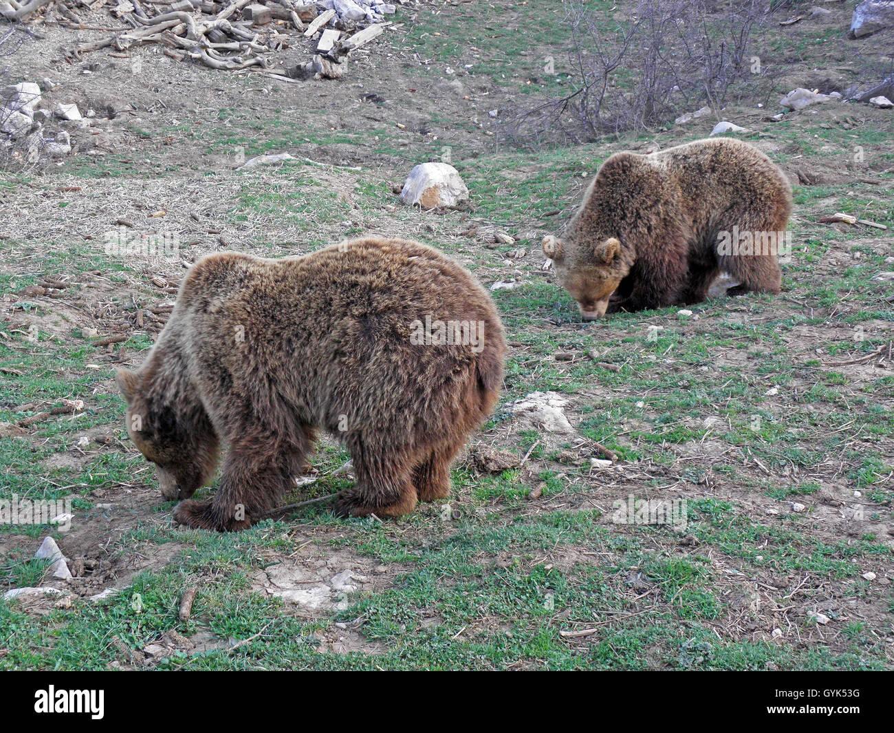 Kuterevo,refugee camp for young bears,Lika,Croatia,Europe,8 - Stock Image