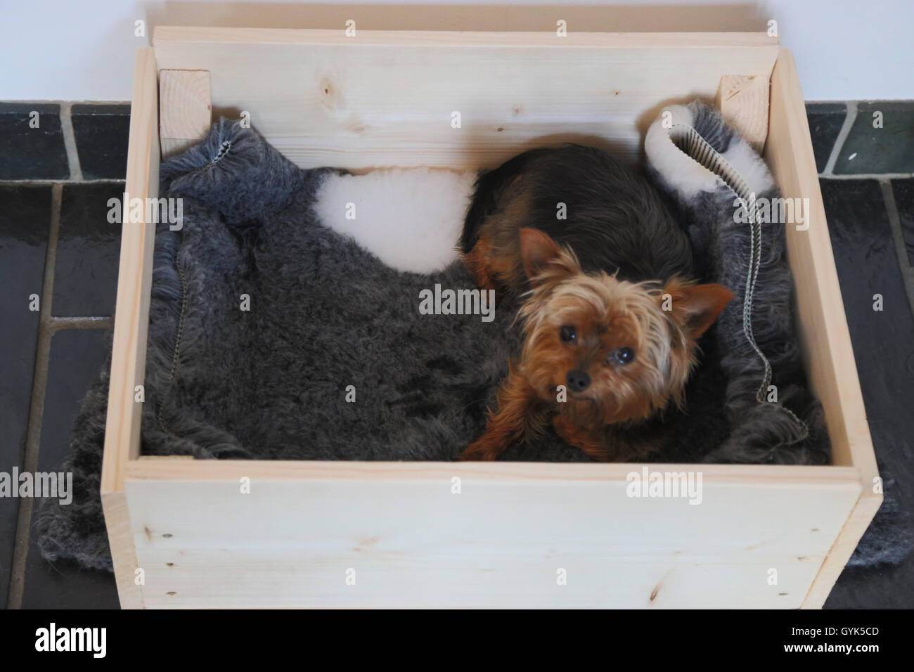 Yorkshire Terrier In Whelping Box Stock Photo 120279277 Alamy
