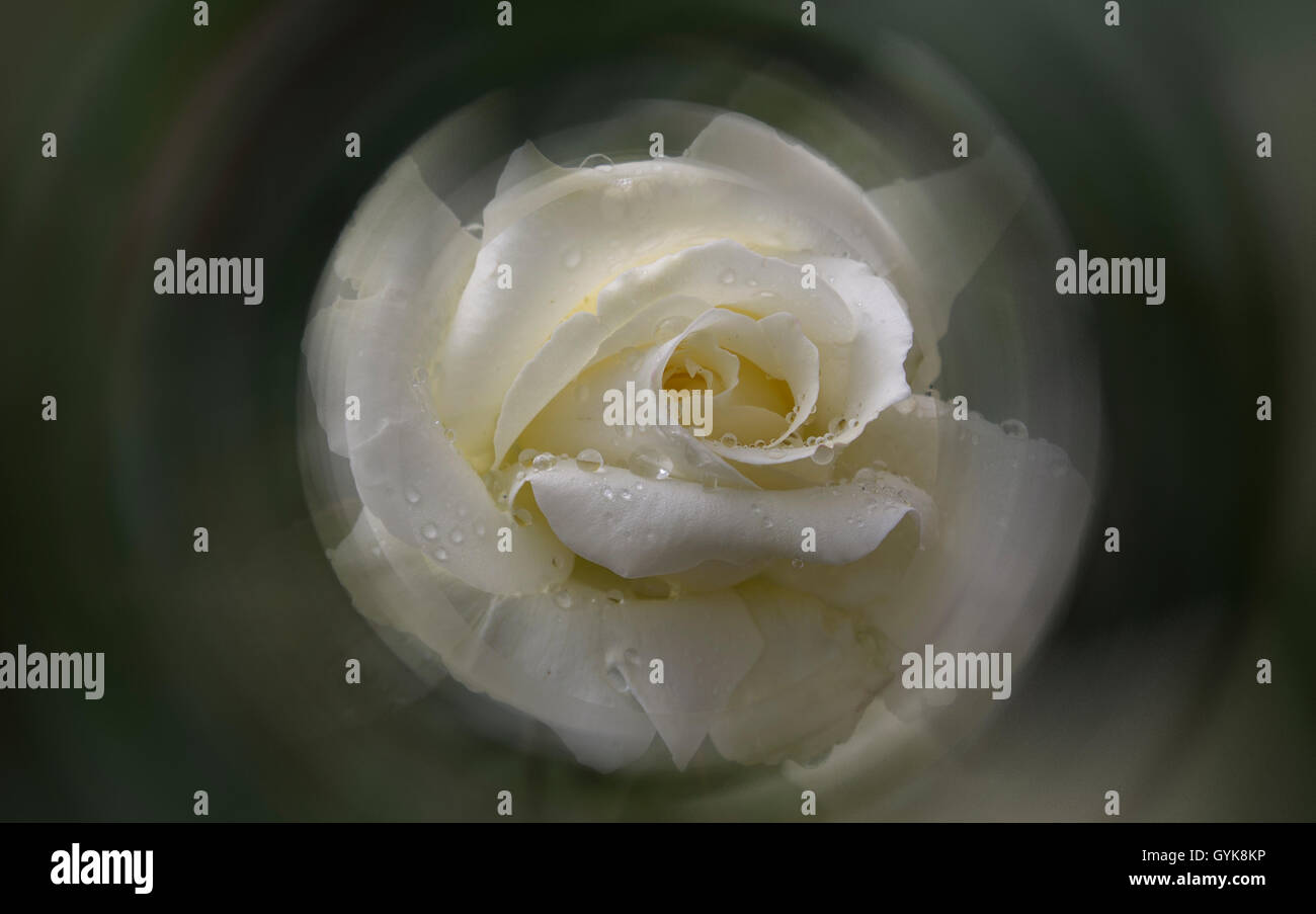 Beautiful Rose Water Drops Stock Photos Beautiful Rose Water Drops