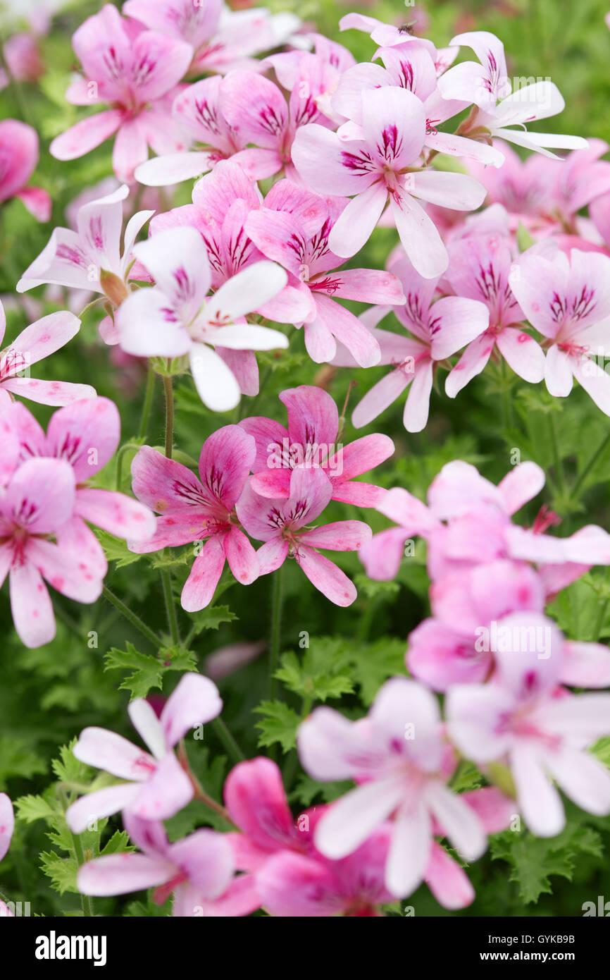 Orange pink flowers geranium stock photos orange pink flowers pelargonium prince of orange pink geranium flowers stock image mightylinksfo