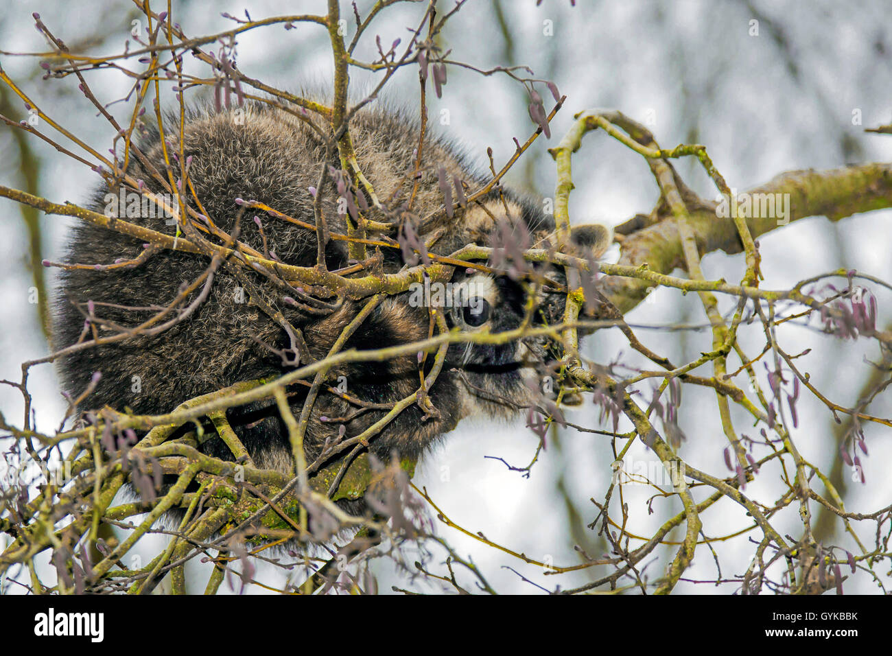 Waschbaer (Procyon lotor), schlaeft in einer Astgabel, Deutschland | common raccoon (Procyon lotor), sleeps in a - Stock Image