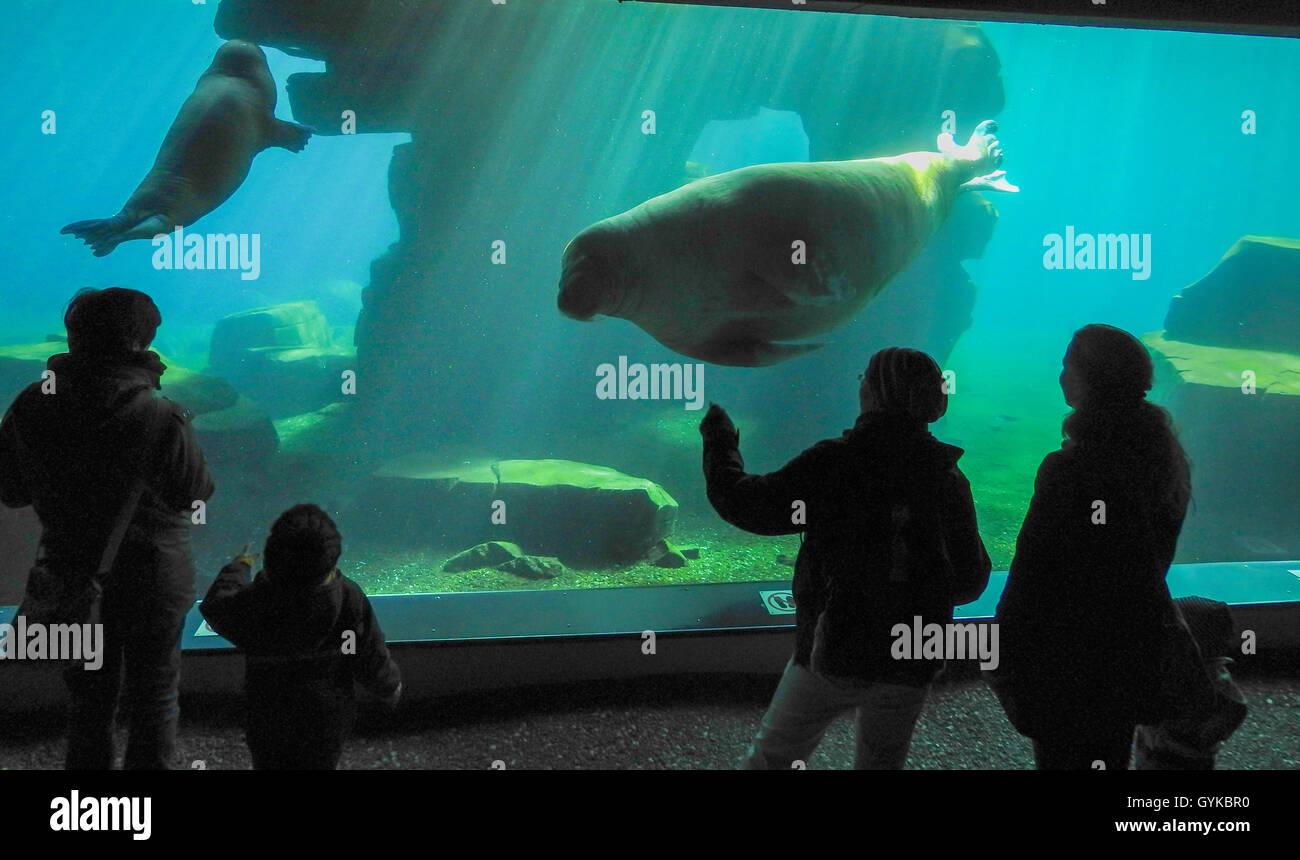 Walross (Odobenus rosmarus), Begegnung im Aquarium   walrus (Odobenus rosmarus), encounter in aquarium   BLWS418424.jpg - Stock Image