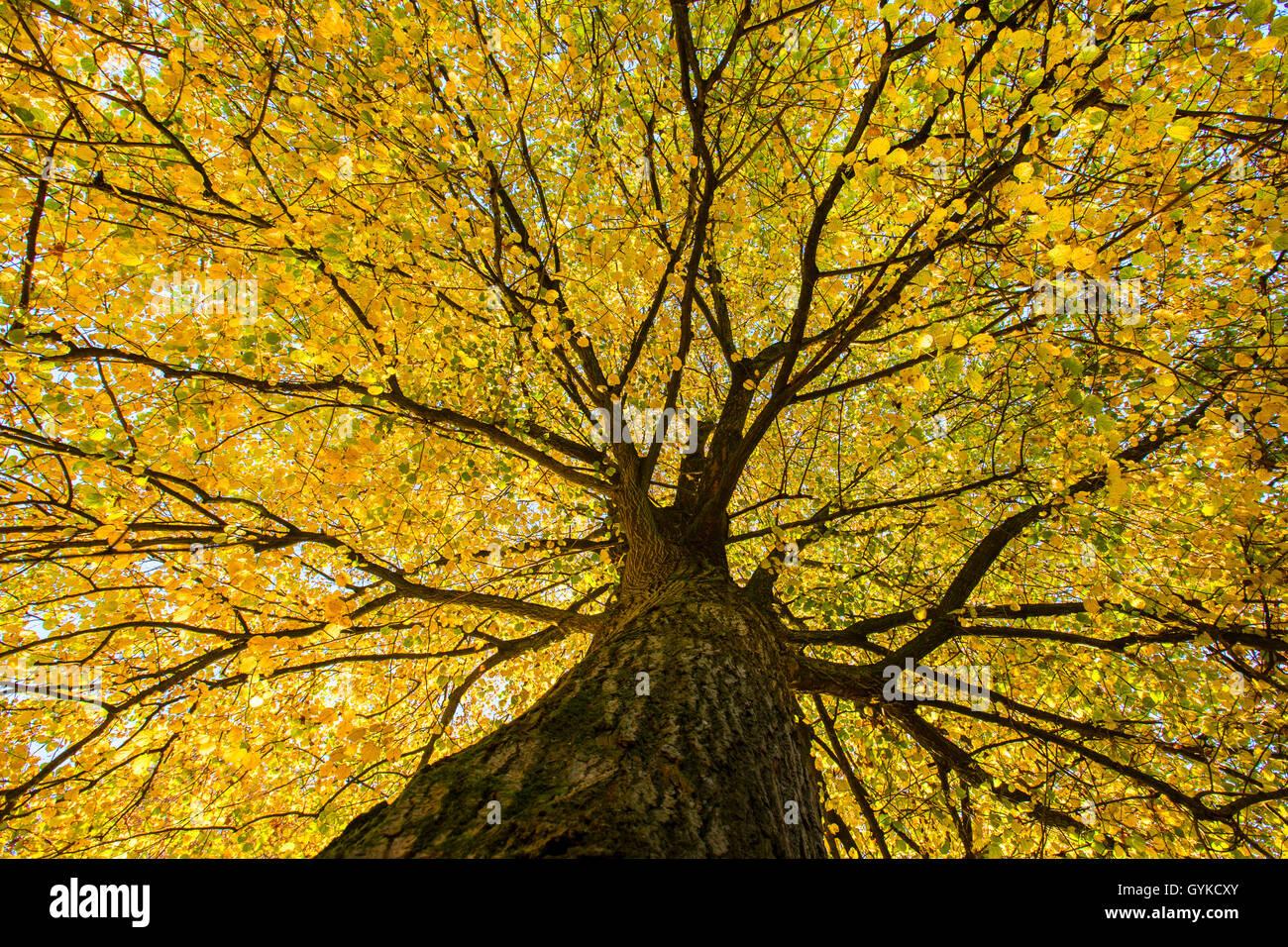 Sommerlinde, Sommer-Linde, Grossblaettrige Linde (Tilia platyphyllos), Blick von unten in die herbstliche Baumkrone, Stock Photo