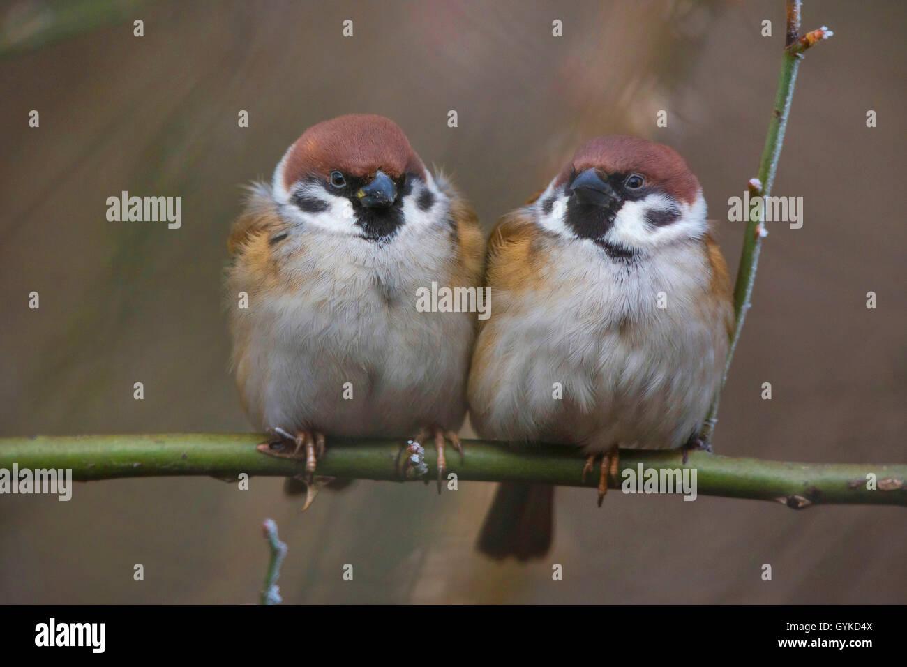 Feldsperling, Feldspatz (Passer montanus), zwei aufgeplusterte Spatzen sitzen zusammen auf einem Ast, Vorderansicht, Stock Photo