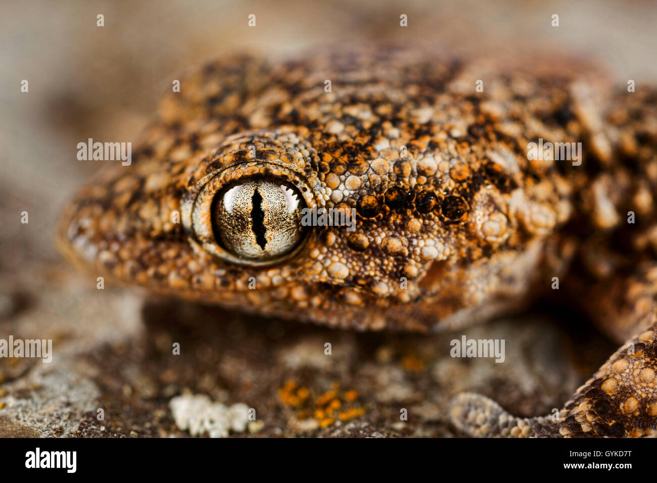 Geckos (Gekkonidae), Kopf eines Geckos | geckos (Gekkonidae), head of a gecko | BLWS418797.jpg [ (c) blickwinkel/F. - Stock Image