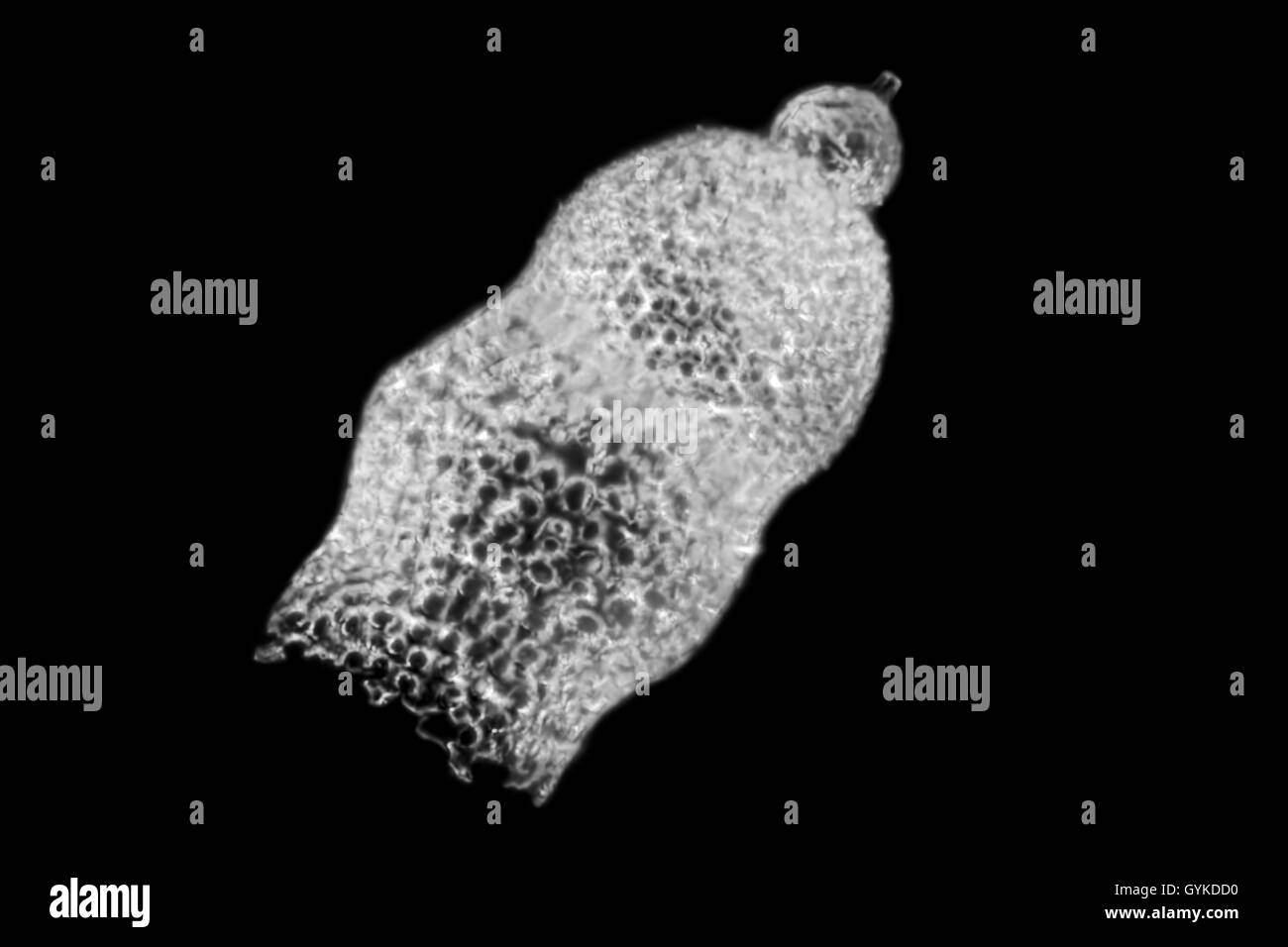 Radiolarien, Strahlentierchen (Radiolaria), fossiles Strahlentierchen von Barbados im Dunkelfeld | radiolarians - Stock Image
