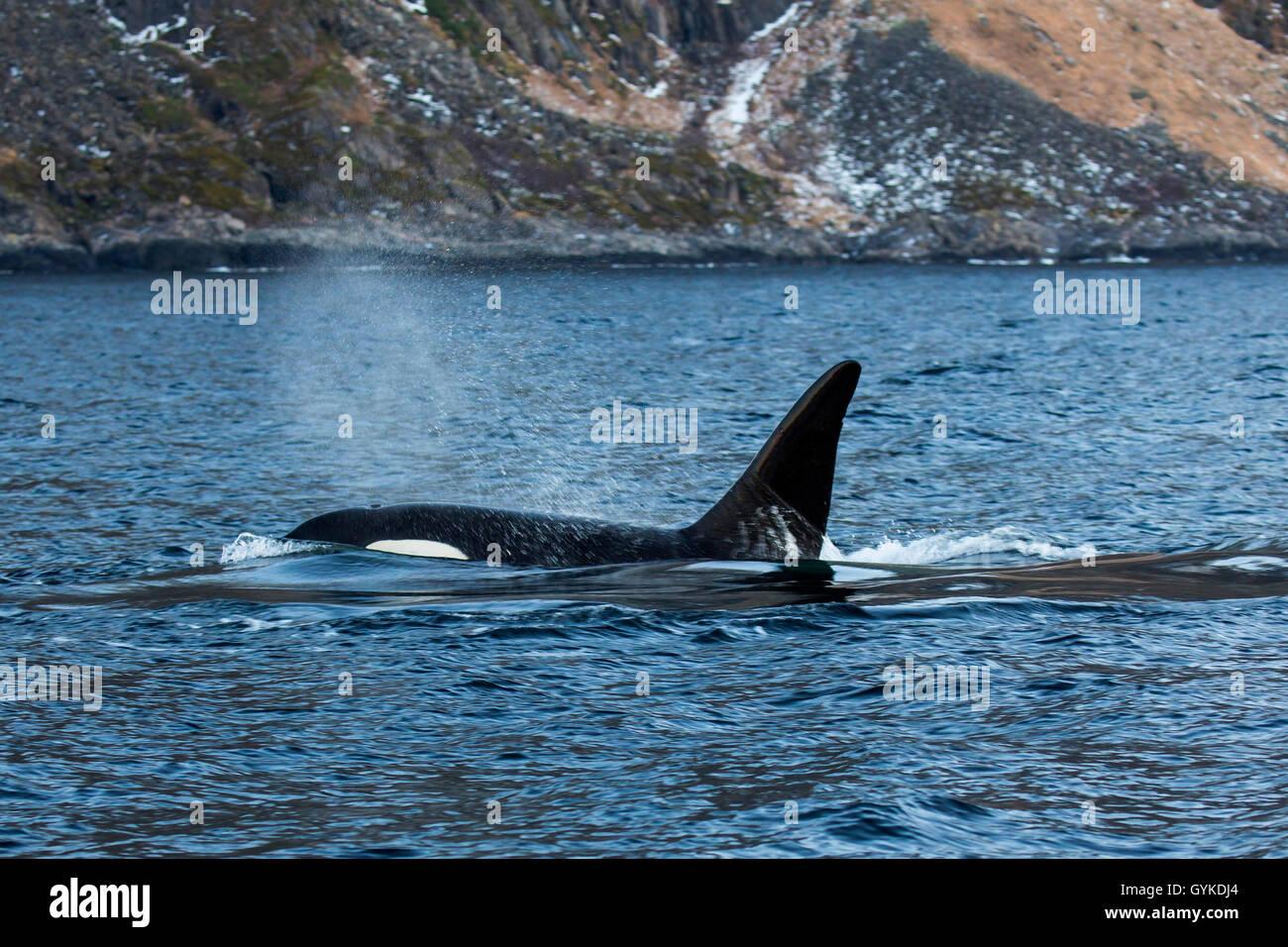 Schwertwal, Killerwal, Orca (Orcinus Orca), Ausatmender Grosser Bulle  Schwimmt In Ufernaehe