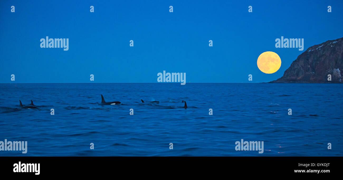 Schwertwal, Killerwal, Orca (Orcinus orca), Gruppe vor aufgehendem Vollmond in der Daemmerung, Norwegen, Troms, - Stock Image
