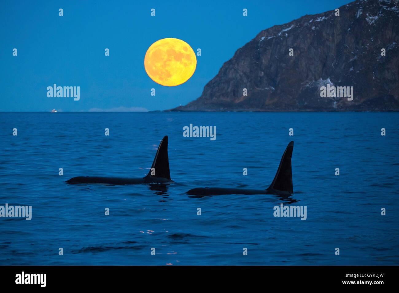 Schwertwal, Killerwal, Orca (Orcinus orca), zwei grosse Bullen vor aufgehendem Vollmond in der Daemmerung, Norwegen, - Stock Image