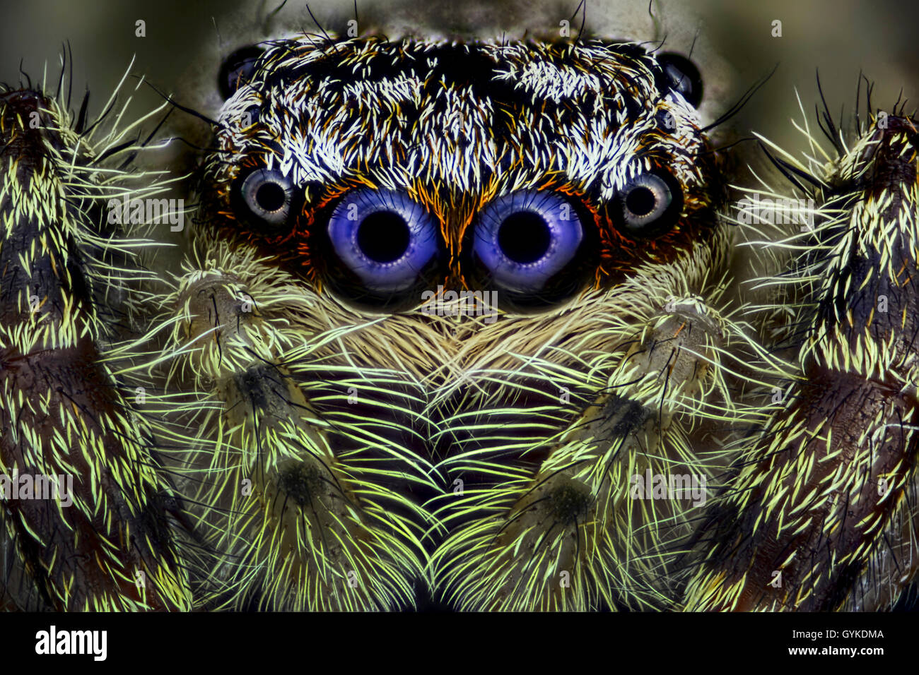 Springspinne, Spring-Spinne (Salticidae), Portraet | Jumping spider (Salticidae), portrait | BLWS418982.jpg [ (c) - Stock Image