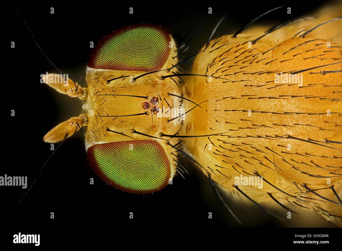 Fliegen (Brachycera (Diptera)), Makroaufnahme einer Fliege mit gruenen Augen | true flies (Brachycera (Diptera)), Stock Photo