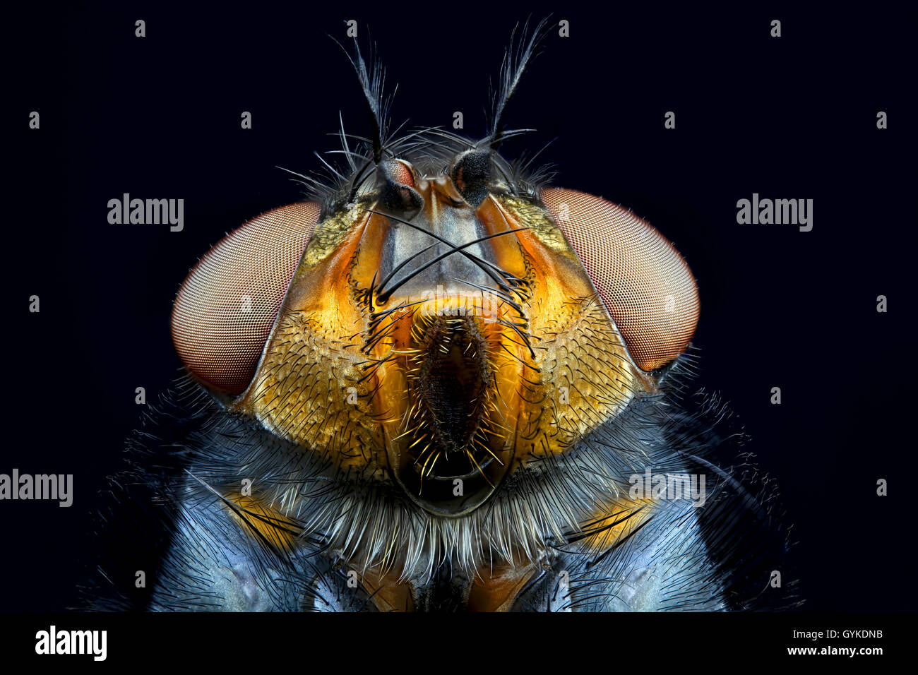 Blaue Schmeissfliege (Calliphora vicina), Portraet | bottlefly (Calliphora vicina), portrait | BLWS419003.jpg [ - Stock Image
