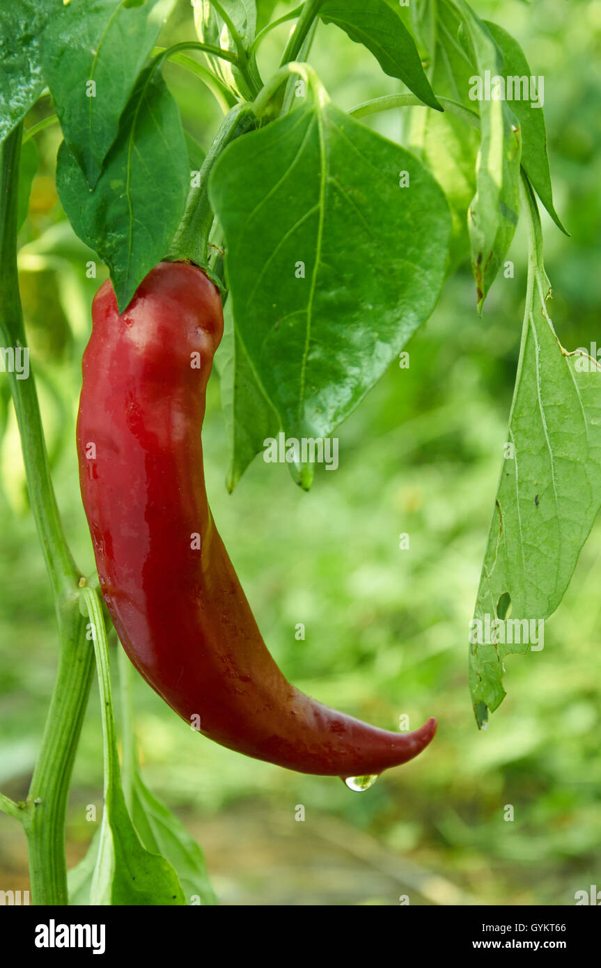 Bush of red long hot pepper after rain Stock Photo