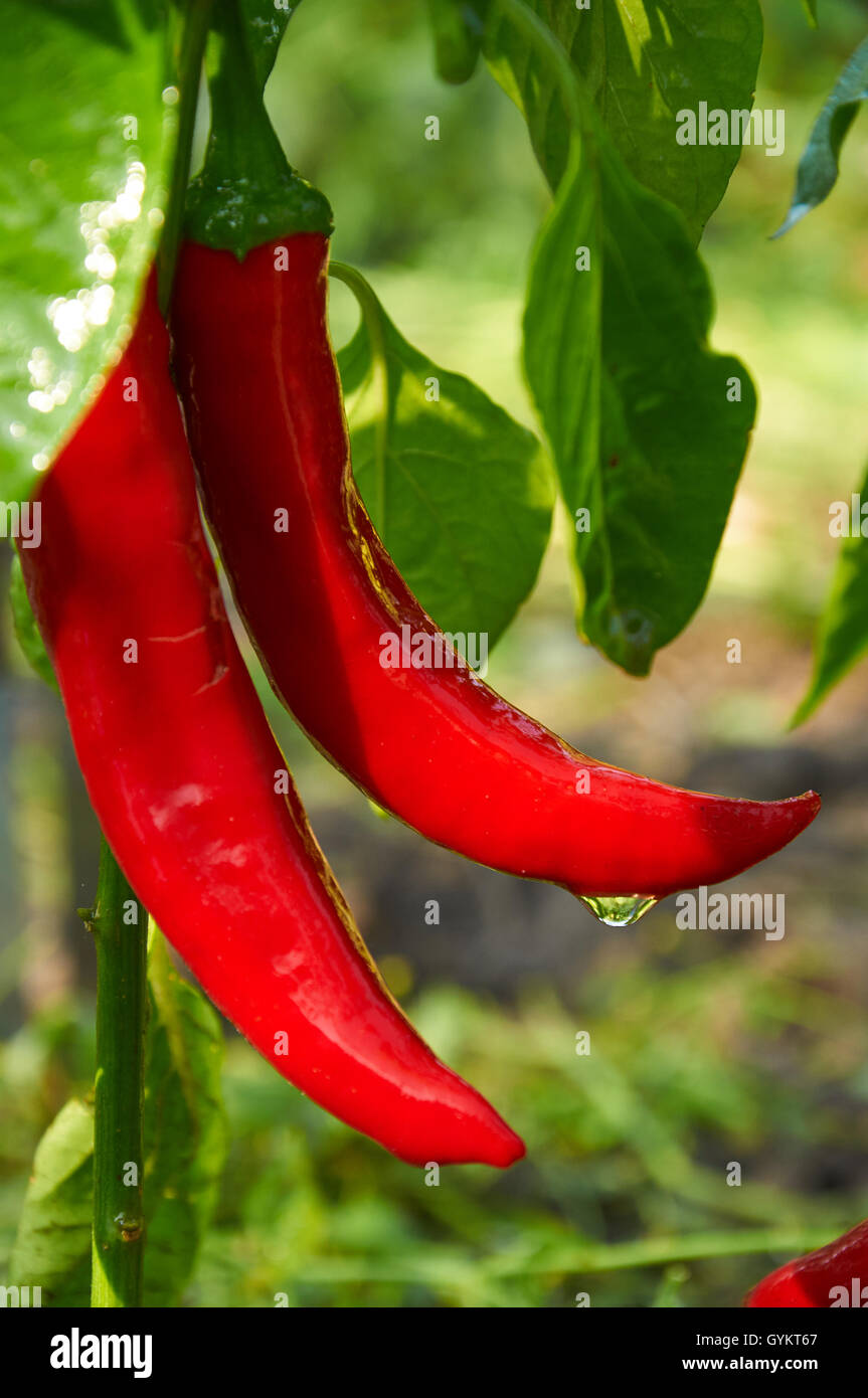 Bush of red long hot pepper after rain - Stock Image