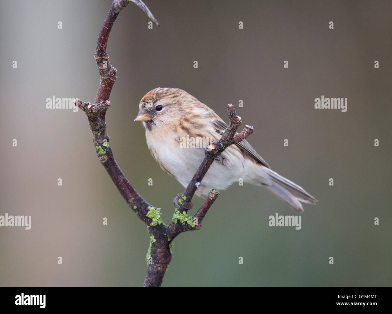 Redpoll (carduelis flammea) perching on a branch in winter - Stock Image