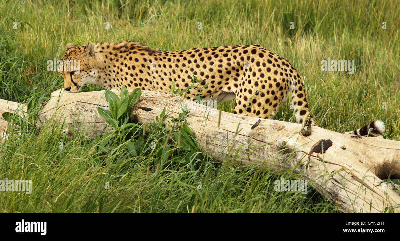 A Cheetah smelling a scent mark. - Stock Image