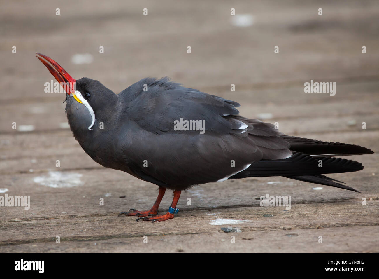 Inca tern (Larosterna inca). Wildlife animal. Stock Photo